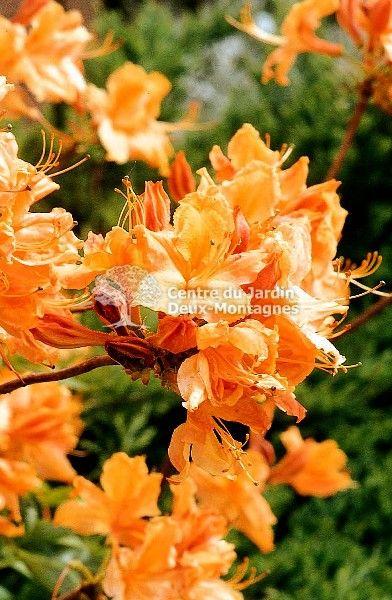 Azalea-golden-lights - Fleurs jaunes odorantes. Les azalées ...