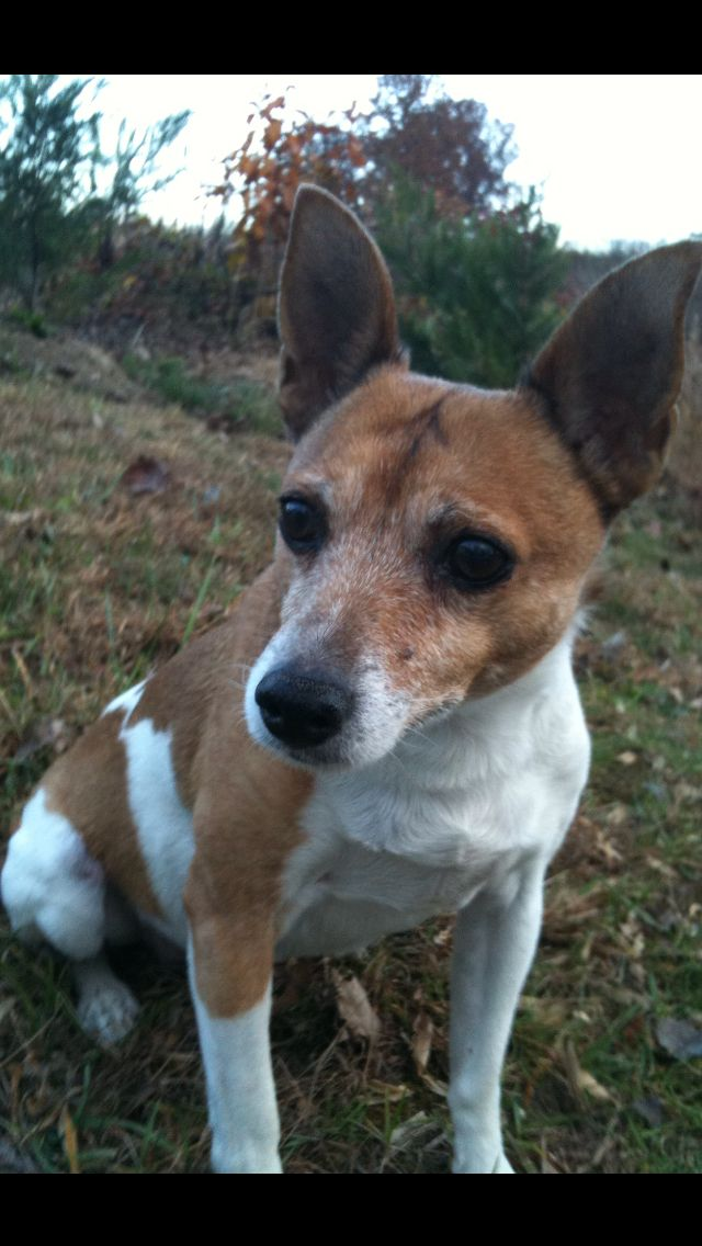 I miss my rat terrier, petey, so much!! I will always miss & love you!!