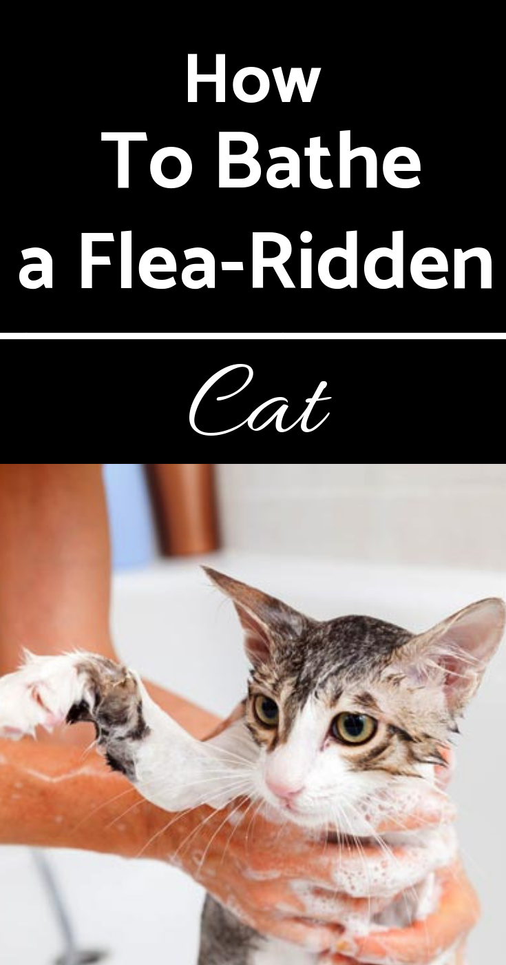 How To Bathe A Flea Ridden Cat Cat Fleas Treatment Cat Has Fleas Flea Shampoo For Cats