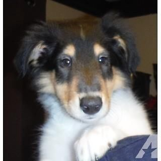 Tri Color Rough Collie Puppies Little Laddies 8 Weeks Old