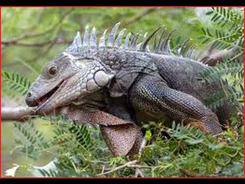 Iguana Documentary BBC 2016