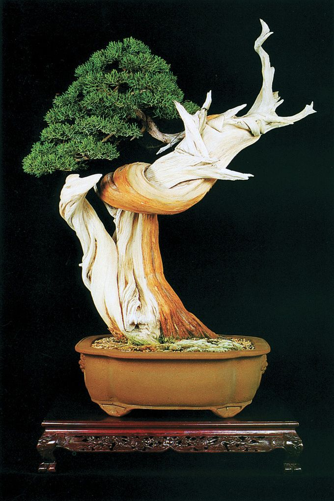 California juniper (Juniperus californica) Bonsai tree