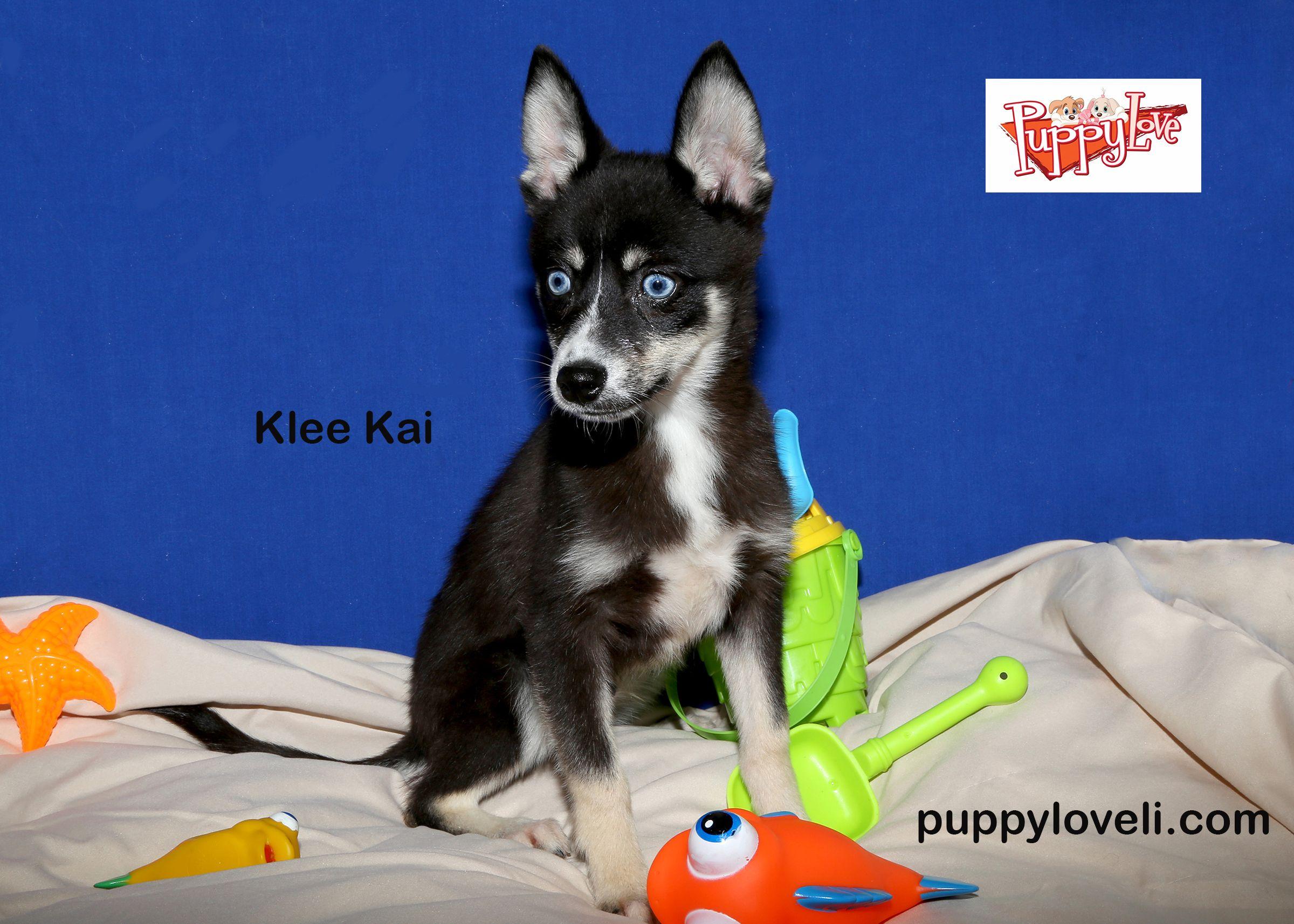 Babies got blue eyes energetic and sweet little klee kai