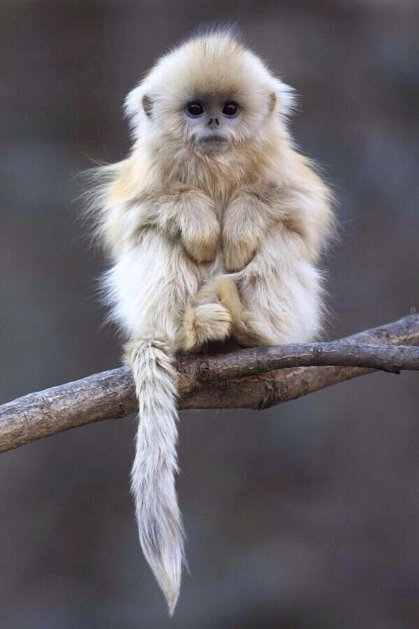 Langur Chato found in Asia at a height of up to 13,000 feet. These primates are rarely seen, and have become critically endangered because of deforestation.