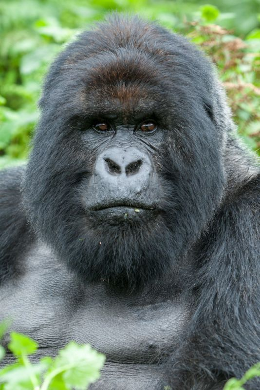 Silver back Gorilla in Rwanda they need protection... I see my history in his face