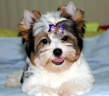 Oh My Have You Ever Heard Of A Parti Yorkie These Little Guys Are Adorable I Have To Have One Puppies And Kitties Cute Animals Biewer Yorkie