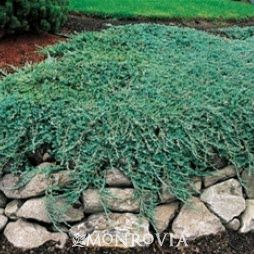 Blue Rug Juniper Juniperus Horizontalis Wiltonii Zone 3 9 Full Sun Lower Water Needs Once Elished 6 In Tall 8 Ft Wide