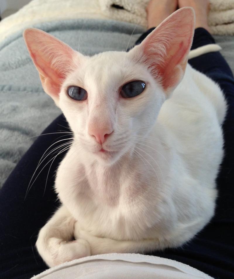 Adopt Olivia Purebred Oriental Shorthair Siamese On Petfinder Oriental Shorthair Cats Oriental Shorthair Pretty Cats