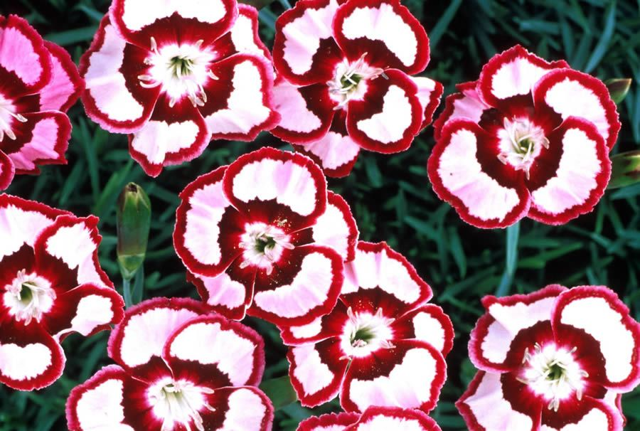 Raspberry Swirl Dianthus: The young flowers have very light pink petals with a deep maroon edge and eye. As they age, the petals fade to white and the edges change to magenta. If deadheaded they will re-bloom in the fall!