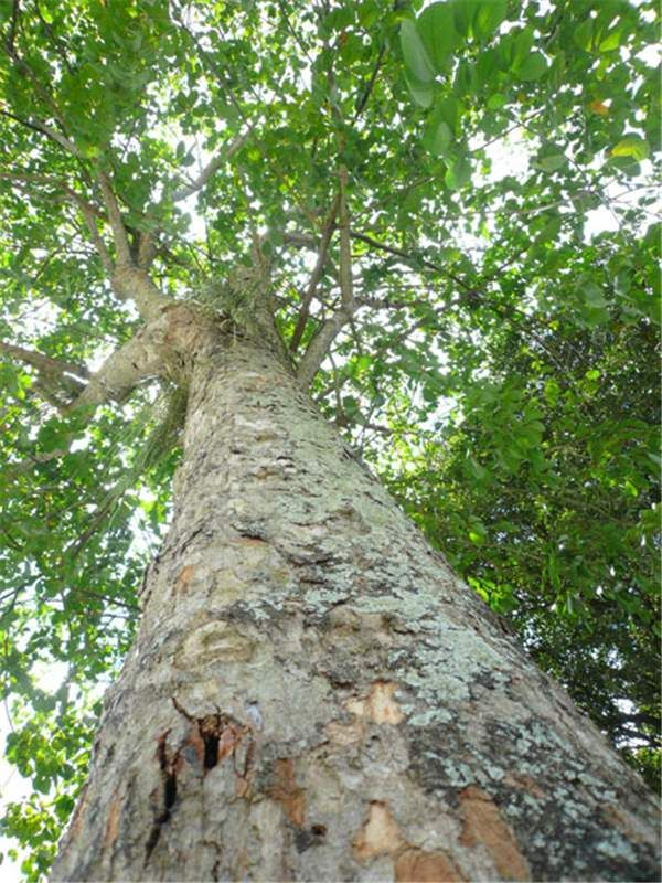 Rubber Tree (Hevea brasiliensis) Brazilian Amazonia