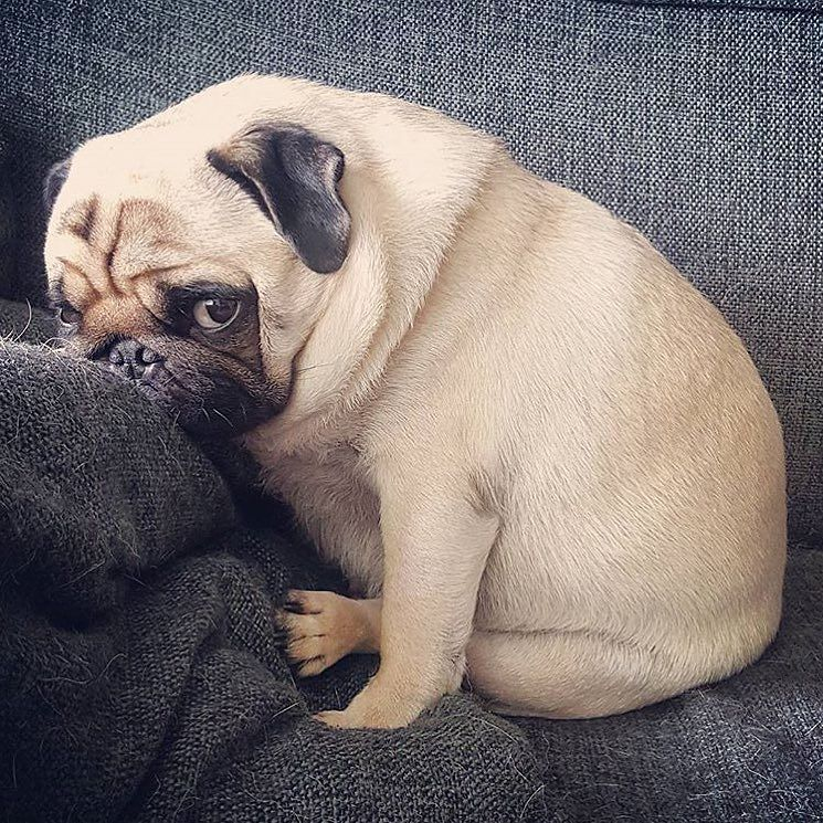 Those Monday Blues Photo By Beer The Pug Want To Be Featured On
