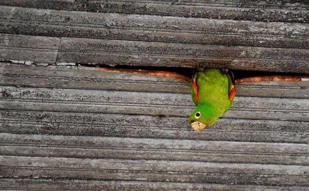 Maritaca no município de Colina, São Paulo
