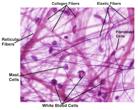 Elastic Tissue Labeled areolar tissue - Googl...