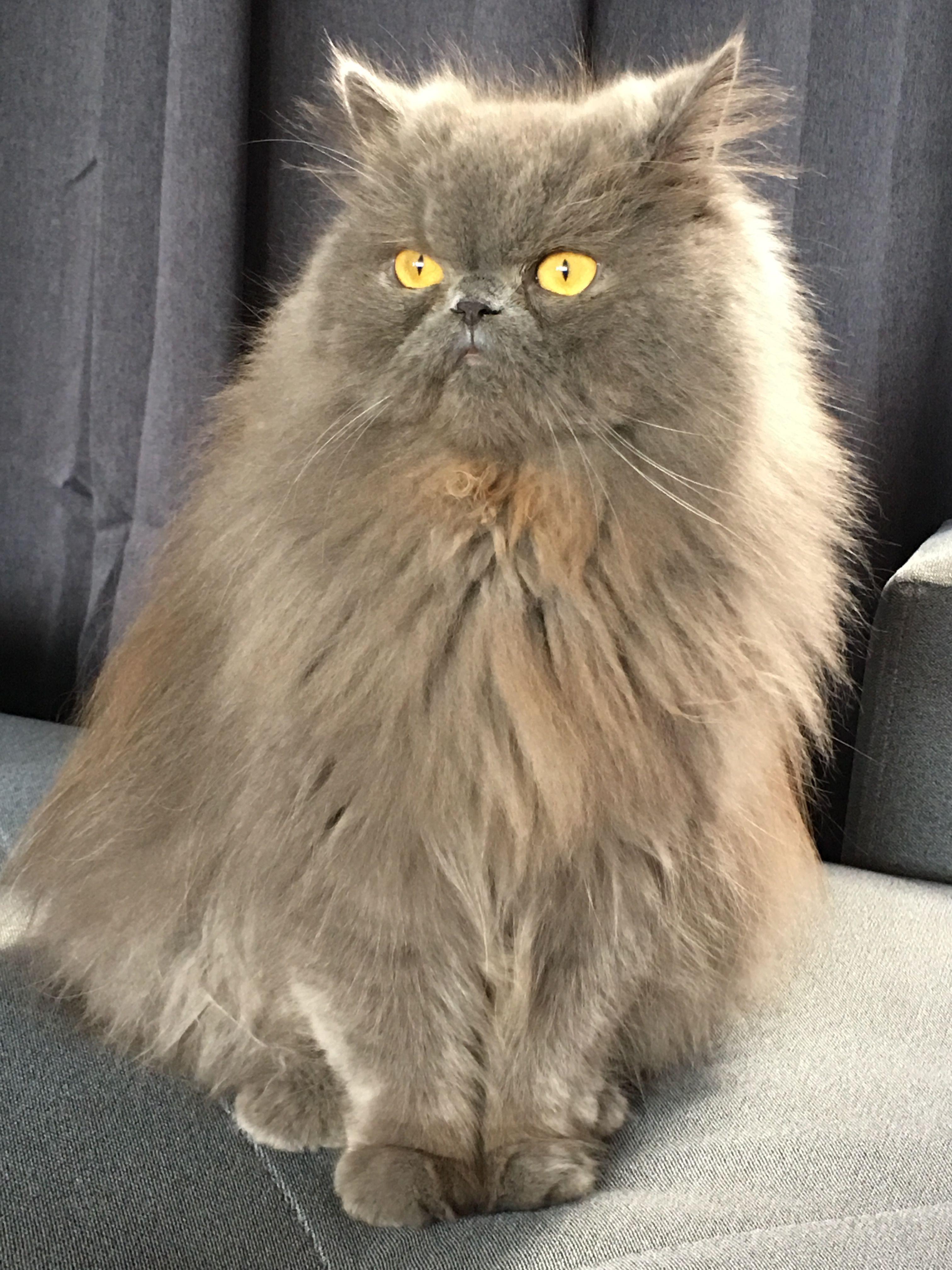 Hmph If Colonel Mustard Were A Cat Persiancat Beautiful Cats Cat Lovers Crazy Cats