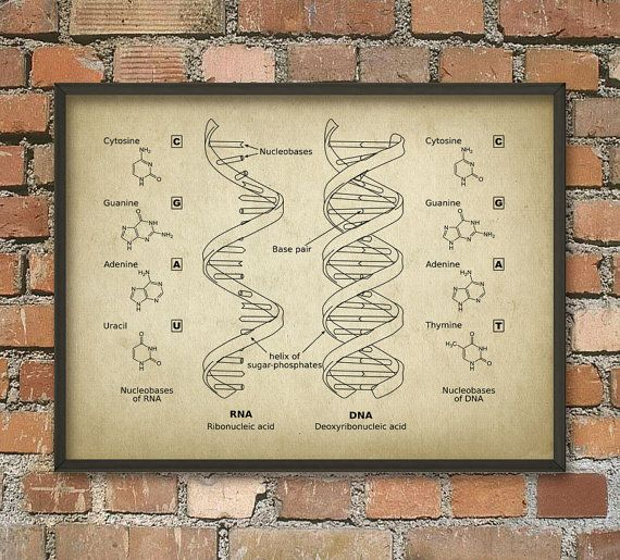 Dna and rna wall art poster biology student art poster genetics dna and rna wall art poster by quantumprints on etsy malvernweather Gallery