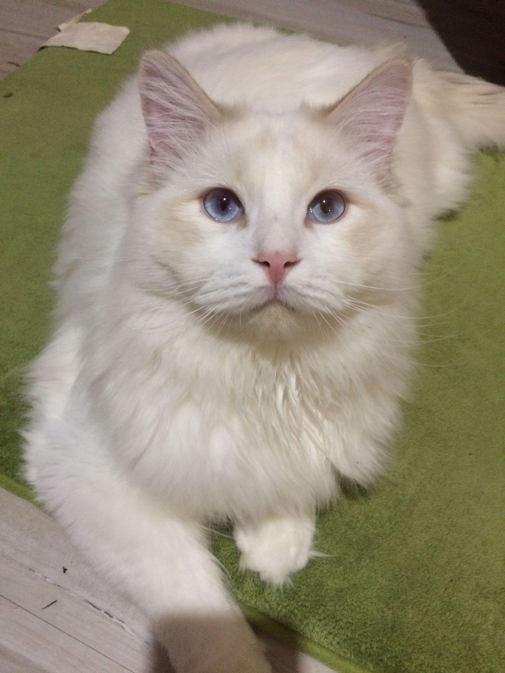 Pin On Genotype Cats Breeder Ragdoll Cats