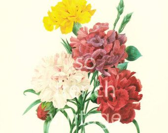 Rosa Indica Large Size Botanical print REDOUTE by sofrenchvintage