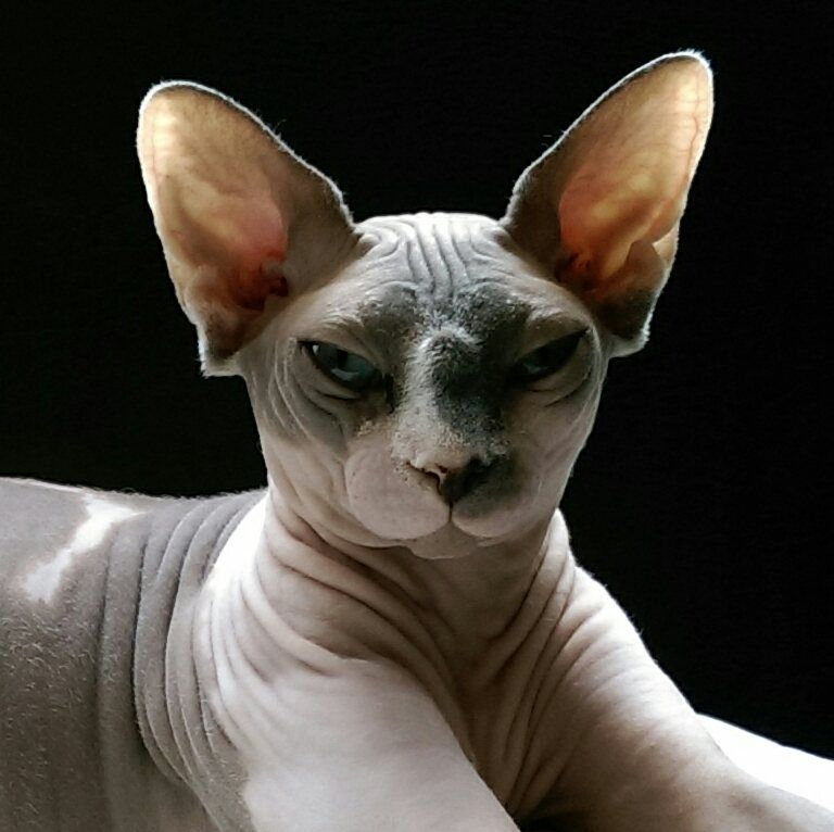 Spencer the sphynx is all ears hairless cat cute cats