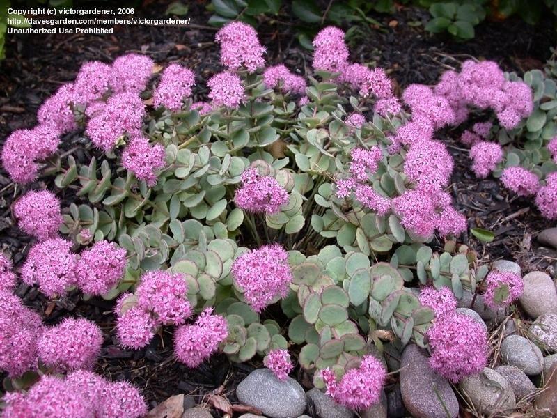 Crassulaceae Sedum Stahlii Orpin Suculentas Cactus Y