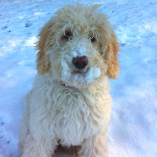 "One of my dogs is on pintrest!  ""Our dog Sera, an Australian Labradoodle"""