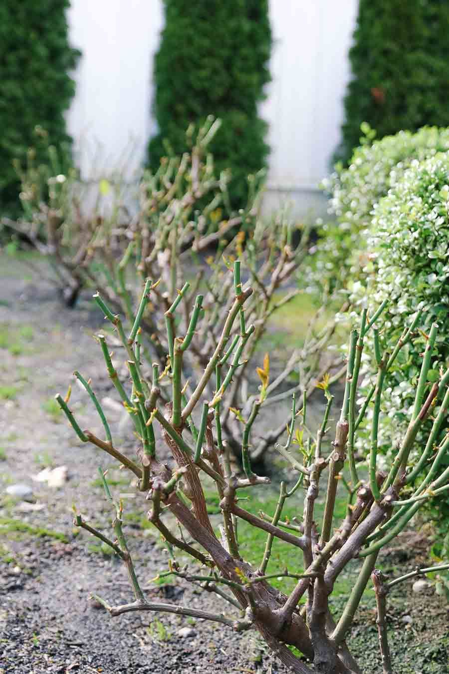 How To Care For Roses In The Winter Rose Care Rose Bush Care