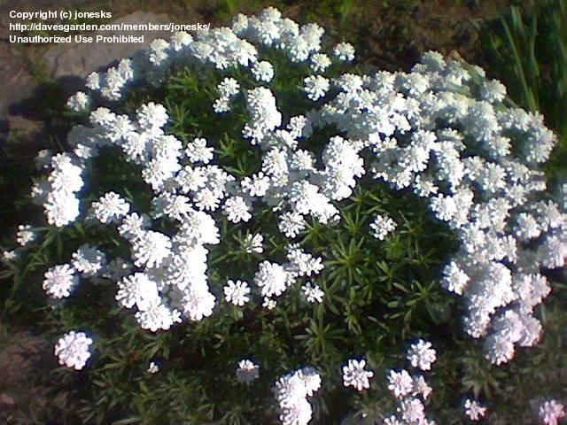 Plantfiles Pictures Evergreen Candytuft Purity Iberis Sempervirens 4 By Paulwhwest Sempervirens Plant Identification Evergreen