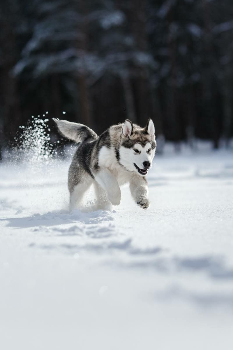 Pin By ꮑꭷꮛℒꮖꭿ On Huskies And Malamutes Siberian Husky Husky Husky Dogs
