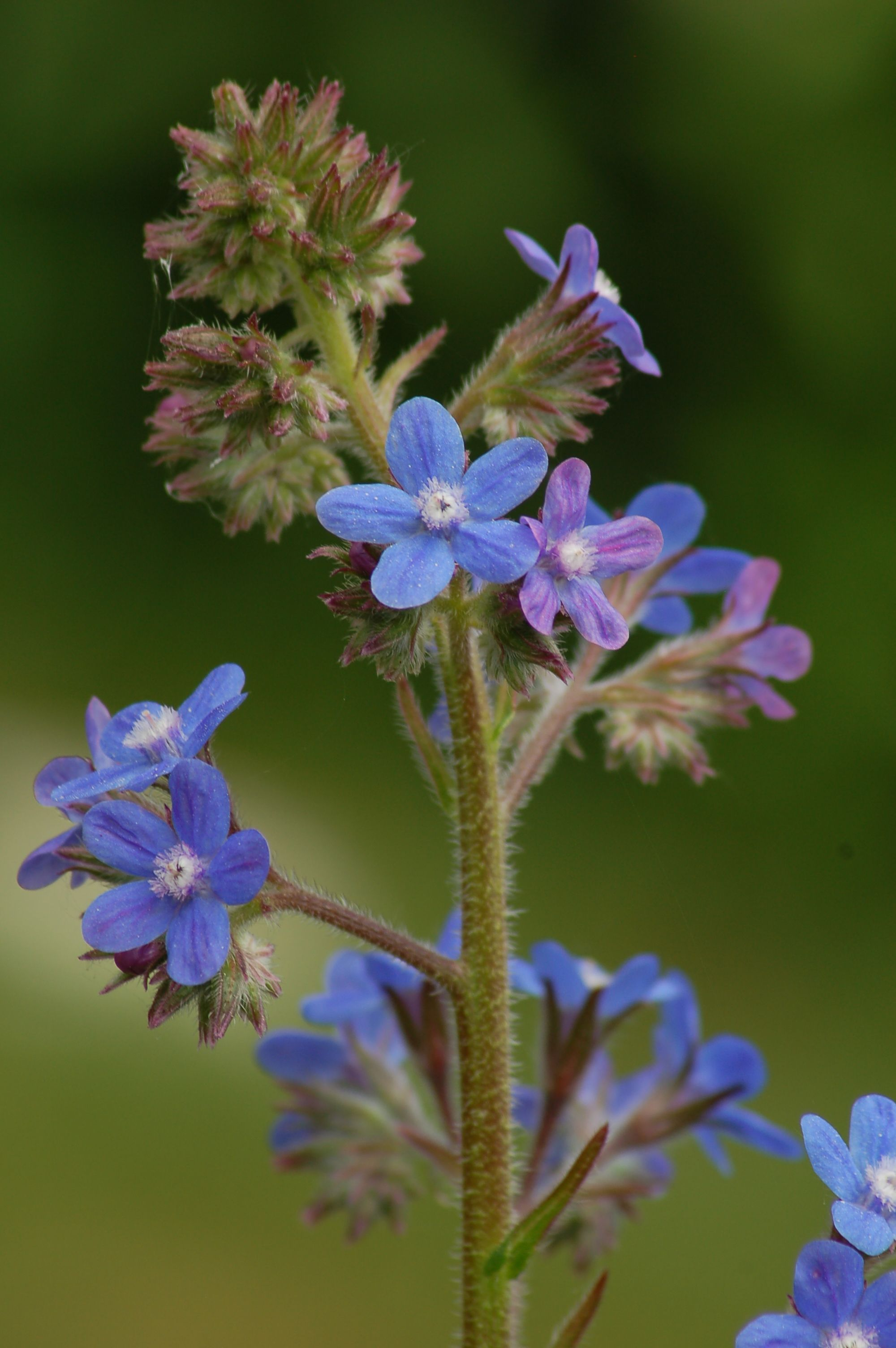 Dont want no short flowers round here grow tall italian bugloss italian bugloss anchusa azurea tall blue and handsome this is a good perennial for the back of a flower border notice that it bears flowers of mightylinksfo Image collections