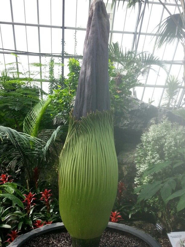 Corpse Flower 275lb Very Big Bloemen