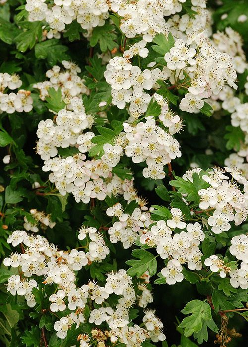 Hawthorn Tree With White Blossom In Spring These Stunning Native Trees Are Perfect For Small