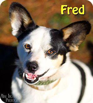 Elyria Oh Corgi Mix Meet Fred A Dog For Adoption Http Www Adoptapet Com Pet 14585805 Elyria Ohio Corgi Mix Dog Adoption Corgi Mix Pet Adoption