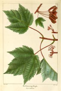 Red flowering Maple (Acer rubrum).