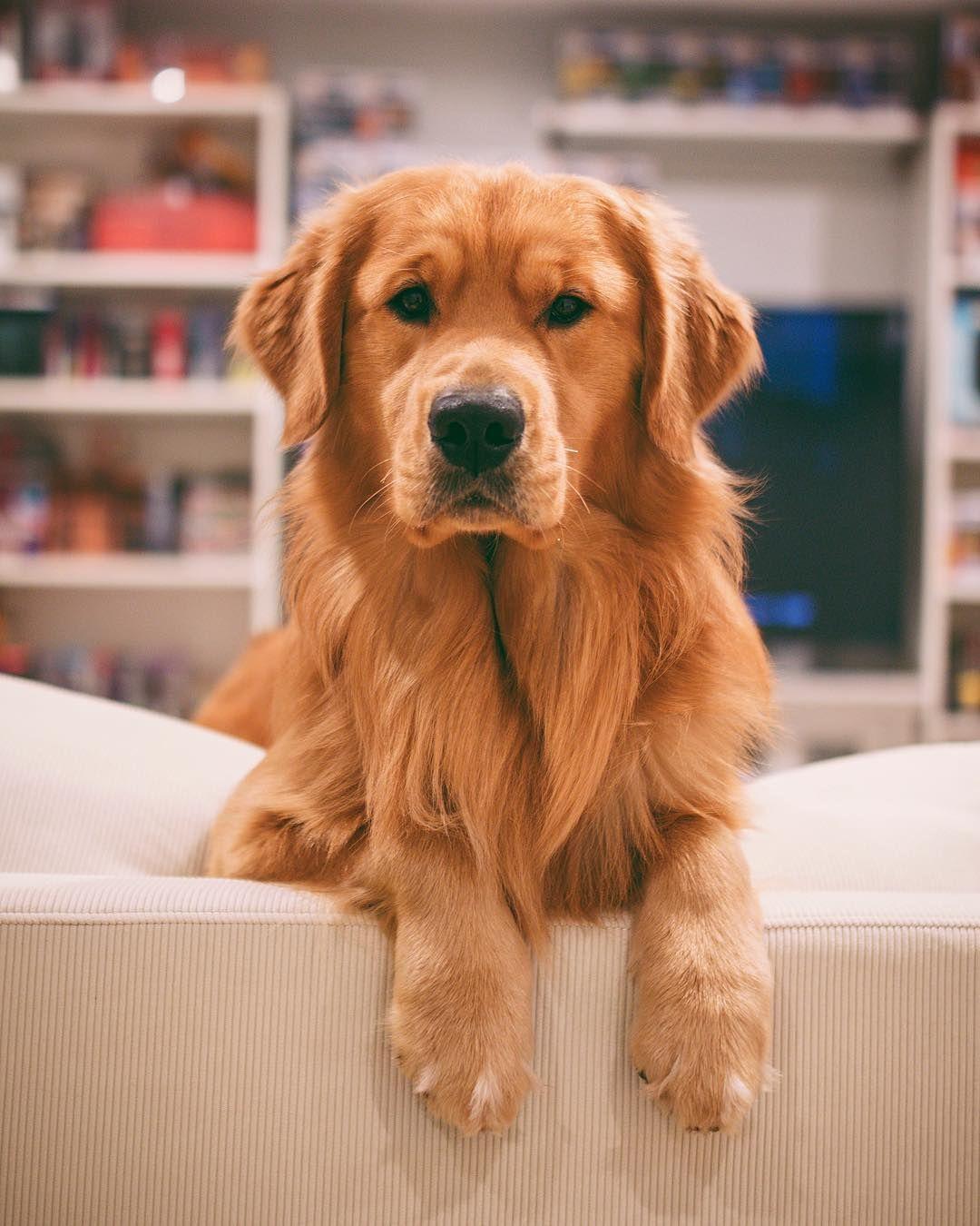 Jaxson Goldenretriever Dogs Golden Retriever Retriever