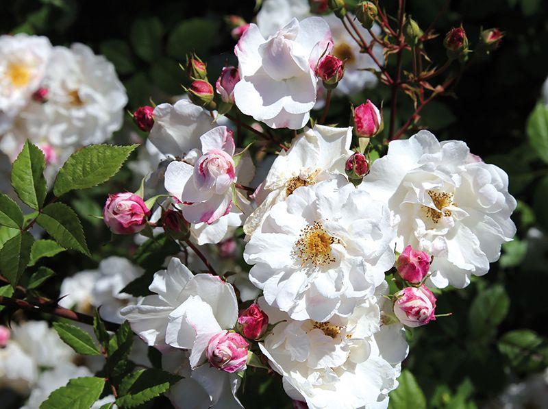 Elegant Ramblerrose uPaul s Himalayan Musk u Stark wachsende Ramblerrose Kleine rosettenf rmig