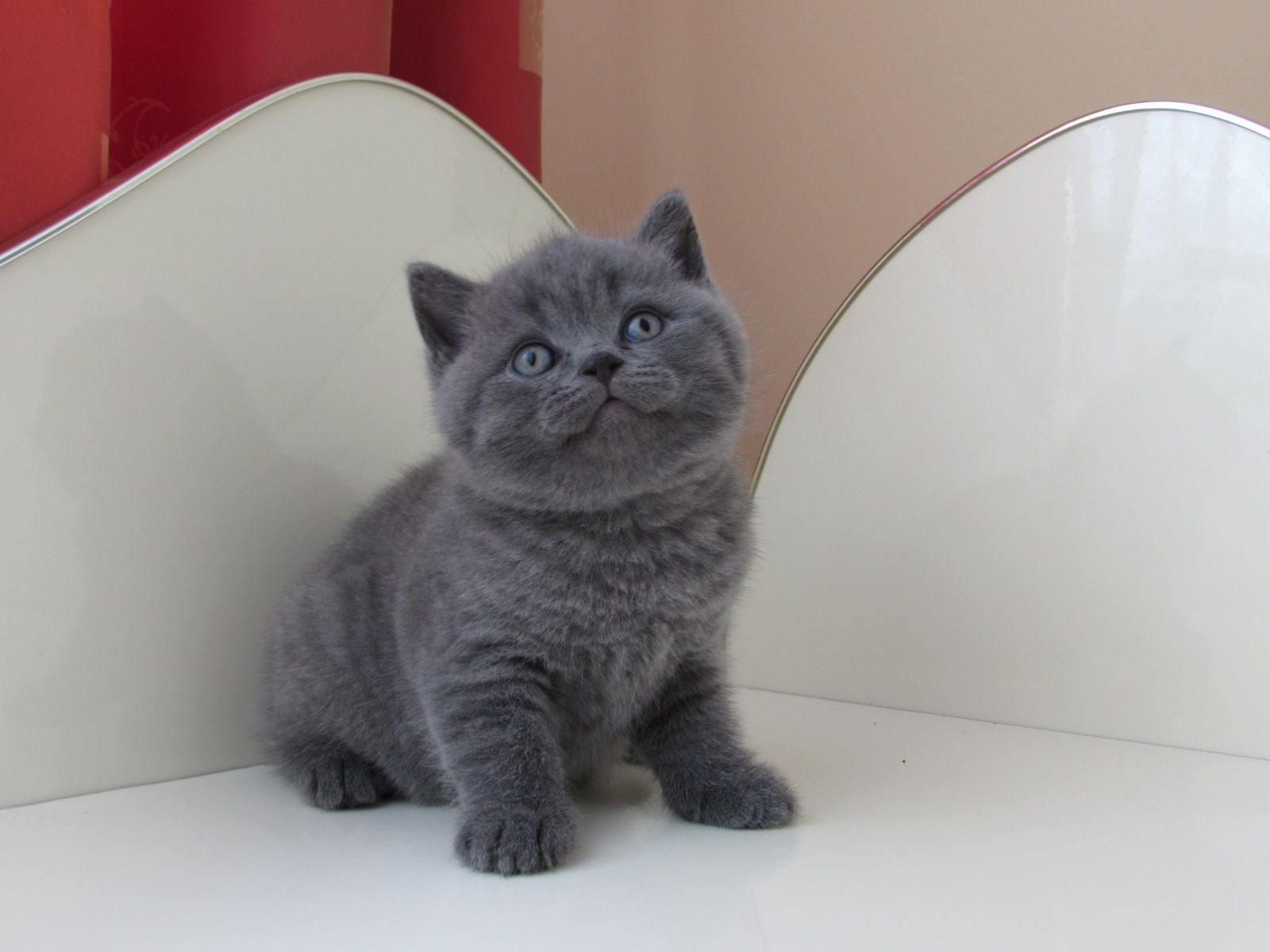 Candyland Vzreja Britanskih Mack Brittish Shorthair Cattery