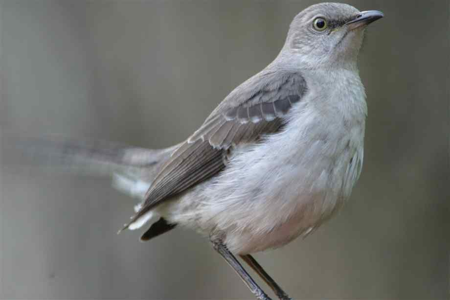 Mockingbirds Are Beautiful Birds About The Size Of A Robin They Slender Gray With White Stomachs And Patches On Their Wings Tails