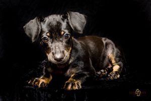 Mckenzie 518203 Is An Adoptable Dachshund Dog In Houma La This