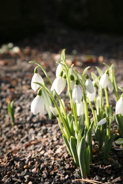 Galanthus Elwesii Snowdrop Bulbs Planting Plan Plants Bulb