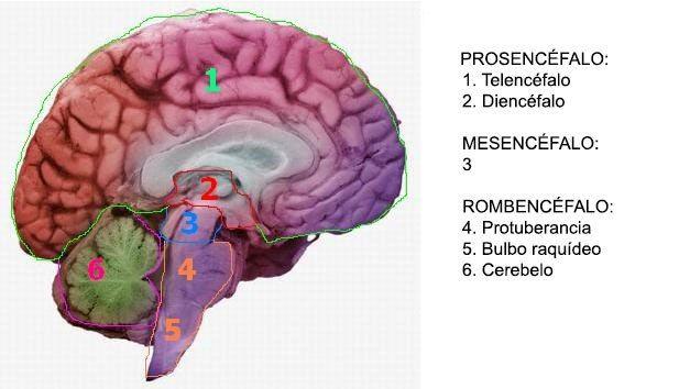 El Mesencéfalo O Cerebro Medio Estructura Y Función