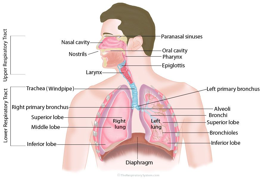 Respiratory System:Structure,Parts & Function | Pinterest