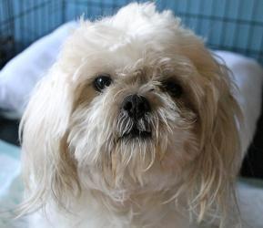 Adopt Harper On Dogs Dogs Shih Tzu Dog Shih Tzu