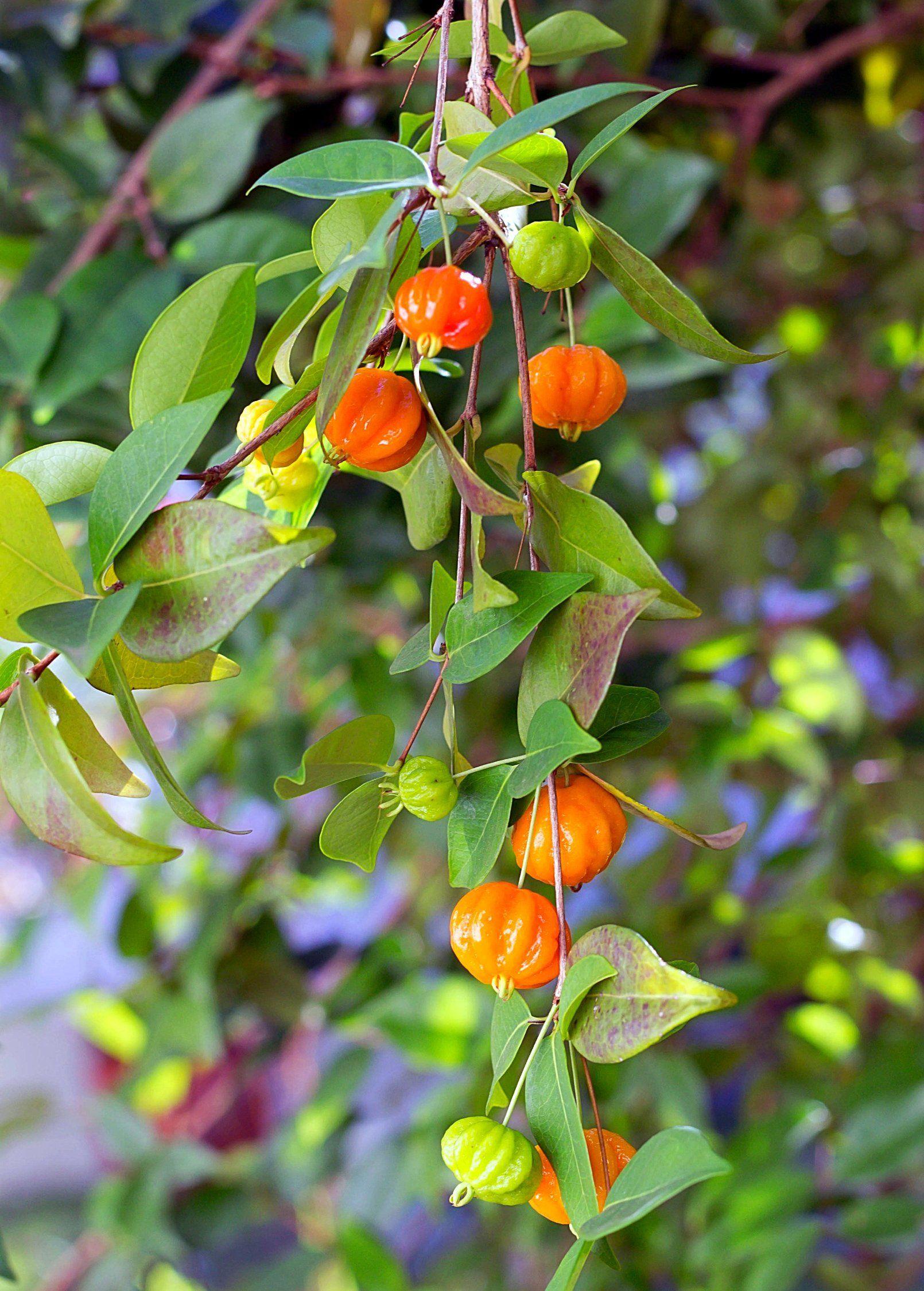 Surinam Cherry Seedling Eugenia Uniflora In 2021 Cherry Plant Seedlings Fruit Trees