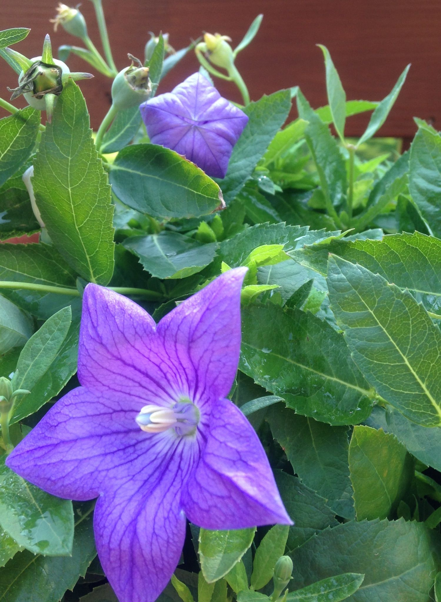 Balloon Flower Plant Growing Balloon Flowers In Your Garden