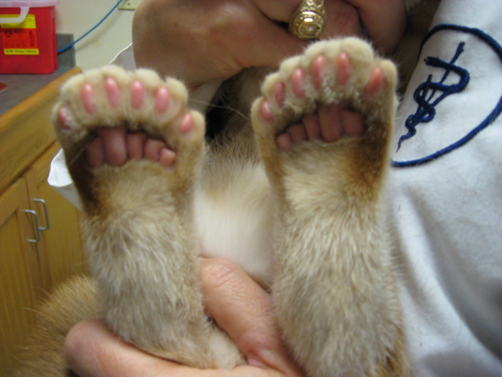 Hemingway Cat Polydactyl Means Many Toed I D Say This Kitty