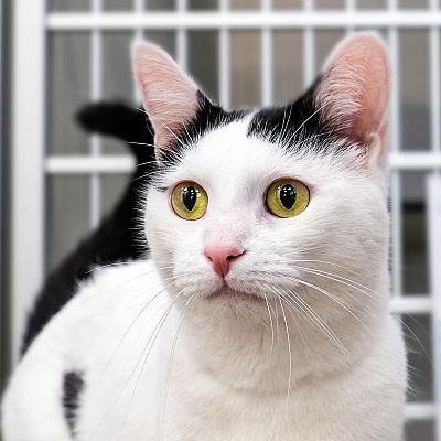 Stamford, CT Domestic Shorthair. Meet Newton a Pet for