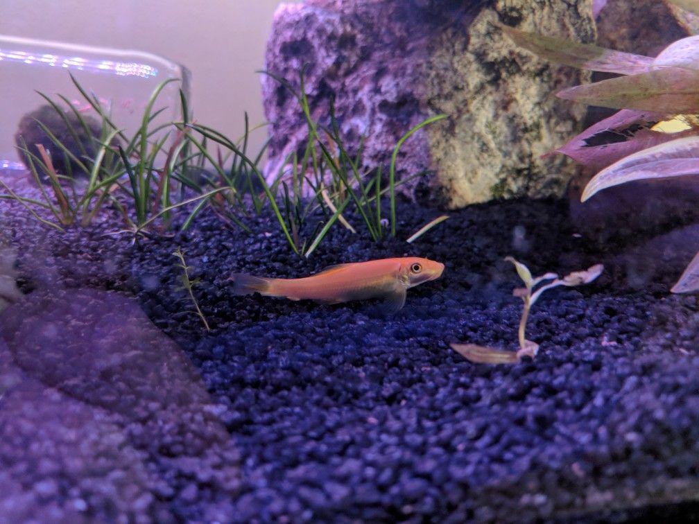 Golden Algae Eater Tropical Fish Tanks Tropical Fish Fish Tank