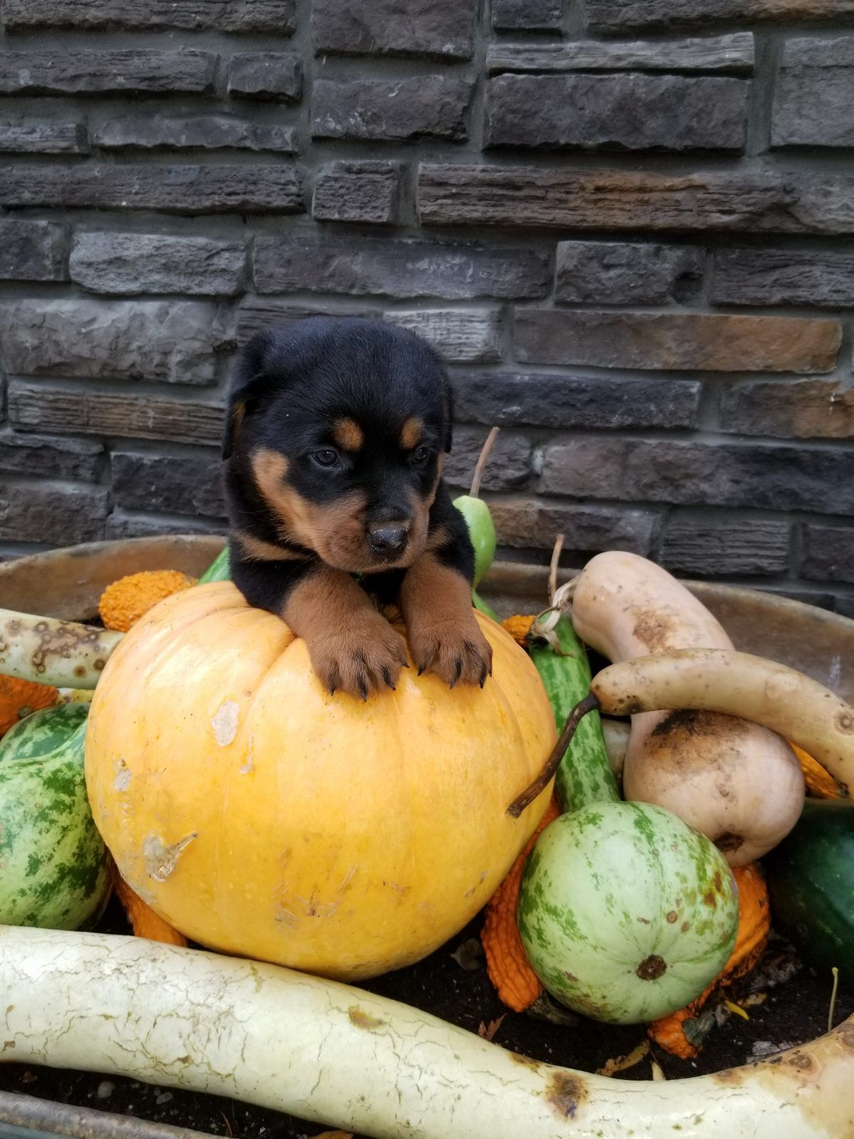 Duke Male Rottweiler Puppers For Sale In Grabill Indiana