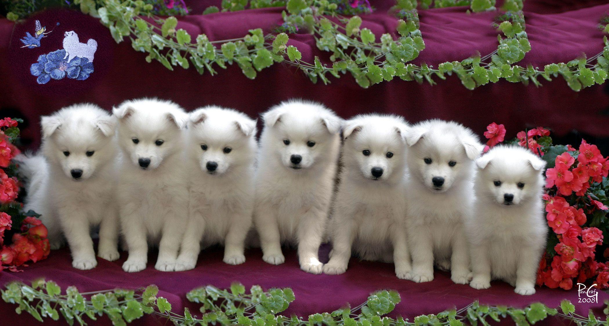 American Eskimo Puppies American Eskimo American Eskimo