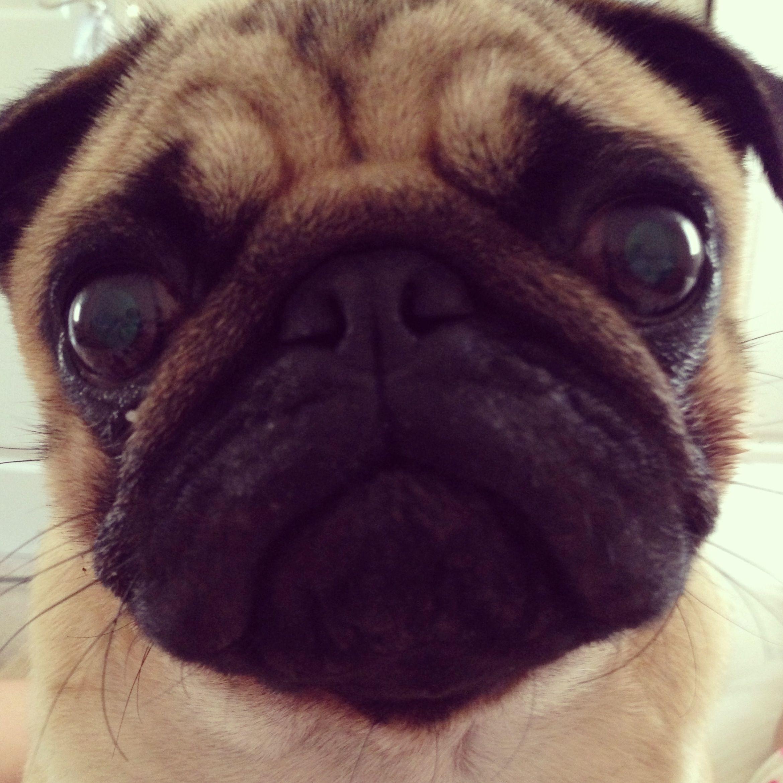 Pug Face Animals Pugs Dogs