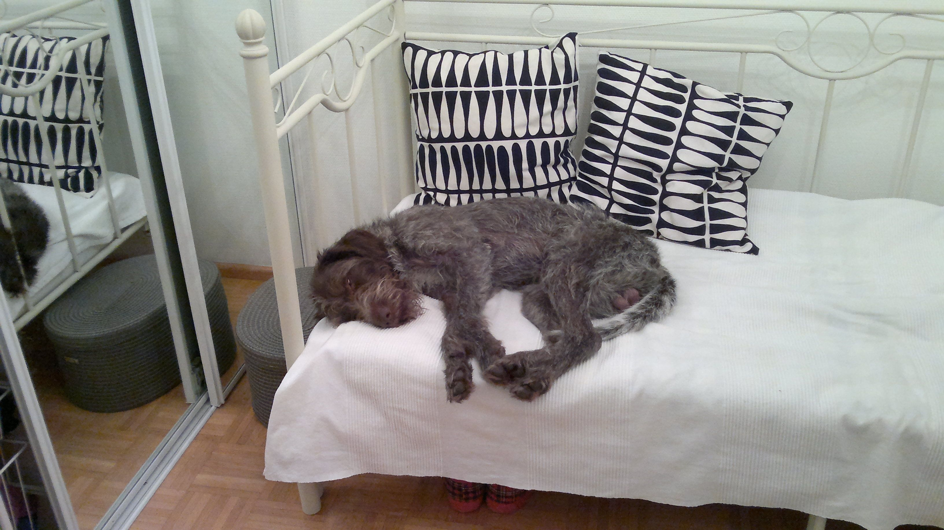 German wire haired pointer sleeping toddler bed home
